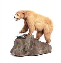 TAXIDERMY BEAR SPECIMAN